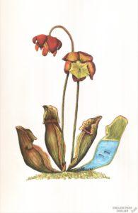 dibujos de plantas come insectos