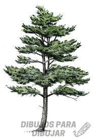 imagen de un pino para colorear
